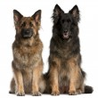 Two German Shepherds sitting in front of white background — Stock Photo #10896152