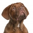 Dogue de Bordeaux puppy, 5 months old, looking up in front of white background — Stock Photo #10896169