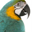 Close-up of Blue and Yellow Macaw, Ara Ararauna, in front of white background — Stock Photo #10896179