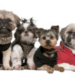 图库照片: Portrait of dogs dressed up in front of white background