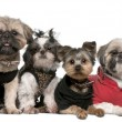 Foto Stock: Portrait of dogs dressed up in front of white background