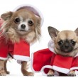 Chihuahuas dressed in Santa outfits for Christmas in front of white background — Stock Photo