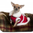 Chihuahua wearing Santa outfit, 25 months old, sitting in doggie bed in front of white background - Stock Photo