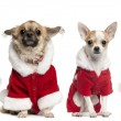 Four Chihuahuas wearing Santa Claus coats in front of white back — Stock Photo