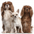 Stock Photo: Cavalier King Charles Spaniels and Chihuahua in front of white background