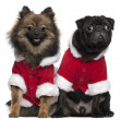 Pug puppy, 6 months old, and Spitz, 7 months old, wearing Santa outfits in front of white background — Stock Photo #10896765