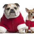 English Bulldog and Chihuahua in Santa outfits sitting in front of white background — Stock Photo