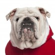 Close-up of English bulldog in Santa outfit, 4 years old, in front of white background — Stock Photo
