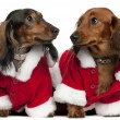 Dachshunds wearing Santa outfits, 18 months and 3 years old, in front of white background — Stock Photo