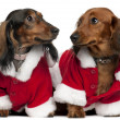 Dachshunds wearing Santa outfits, 18 months and 3 years old, in front of white background — Stock Photo #10896826