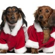 Dachshunds wearing Santa outfits, 18 months and 3 years old, in front of white background — Stock Photo #10896828