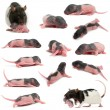 Composition of Mother rat carrying her baby in her mouth, 5 days old, in front of white background — Stock Photo