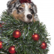 Australian Shepherd dog dressed as Christmas tree, 7 months old, - Stock Photo