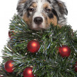 Australian Shepherd dog dressed as Christmas tree, 7 months old, — Foto Stock