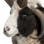 Close-up of Multi-horned Jacob Ram, Ovis aries — Stock Photo