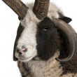 Multi-horned Jacob Ram, Ovis aries, in front of white background — Stock Photo
