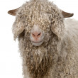 Close-up of Angora goat in front of white background — Foto de Stock