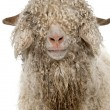 Close-up of Angora goat in front of white background - 