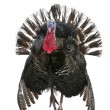 Wild turkey, meleagris gallopavo, davanti a sfondo bianco — Foto Stock