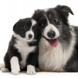 Border Collies interacting in front of white background — Stock Photo #10898195