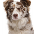 Red Merle Border Collie, 6 months old, in front of white background — Stock Photo #10898202