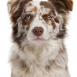 Red Merle Border Collie, 6 months old, in front of white background — Stock Photo #10898204