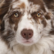 Red Merle Border Collie, 6 months old, in front of white background — Stock Photo #10898207