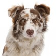 Red Merle Border Collie, 6 months old, in front of white background — Stock Photo #10898210