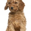 Poodle puppy, 2 months old, sitting in front of white background — Stock Photo #10898295