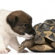 Fox terrier puppy, 1 month old, and Hermann's tortoise, Testudo — Stock Photo #10898475