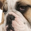 Close-up of English bulldog puppy, 4 months old, in front of white background — Foto Stock