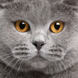 Close-up of British Shorthair cat, 2 years old — Foto de Stock