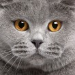 Close-up of British Shorthair cat, 2 years old — Foto Stock