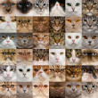 Stock Photo: Collage of 36 cat heads