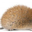 Golden Spiny Mouse, Acomys russatus, 1 year old, in front of white background - Stock Photo