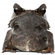 Long-nosed Horned Frog, Megophrys nasuta, in front of white background — Foto de Stock