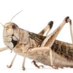 Migratory locust, Locusta migratoria, in front of white background — Stock Photo #10899423