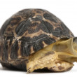 Radiated tortoise, Astrochelys radiata, 3 weeks old, in front of white background - Stock Photo