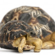 Radiated tortoise, Astrochelys radiata, 3 weeks old, in front of white background - 