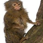Pygmy Marmoset or Dwarf Monkey, Cebuella pygmaea, on log in front of white background — Stock Photo #10899614