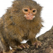 Pygmy Marmoset or Dwarf Monkey, Cebuella pygmaea, on log in front of white background - Stock Photo