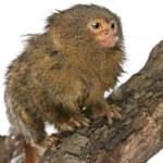 Pygmy Marmoset or Dwarf Monkey, Cebuella pygmaea, on log in front of white background — Stock Photo #10899625