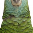 Close-up of Yellow-shouldered Amazon, Amazona barbadensis, in front of white background — Foto Stock