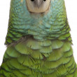 Close-up of Yellow-shouldered Amazon, Amazona barbadensis, in front of white background — Foto de Stock