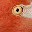 Close-up of American Flamingo, Phoenicopterus ruber, 10 years old, in front of white background - Stock Photo
