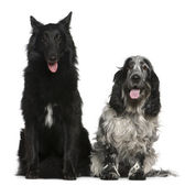 Belgian Shepherd dog, Groenendael, 2 years old, and English Cocker Spaniel, 4 years old, sitting in front of white background — Stock Photo