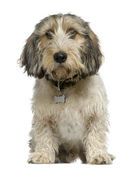Petit Basset Griffon — Stock Photo