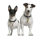 Two Jack Russell Terriers, 3 years old and 4 years old, standing in front of white background — Stock Photo