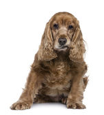 English Cocker Spaniel, 12 years old, sitting in front of white background — Stock Photo