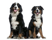 Two Bernese mountain dogs, 14 months and 6 years old, sitting in front of white background — Stock Photo
